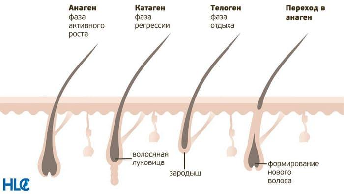 Стадии роста волосяного фолликула: анаген, телоген, катаген